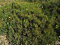 Salicornia arabica Sebkhat Kelbia a.jpg