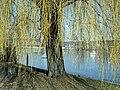 Salix × sepulcralis - Wollishofen - Landiwiese - Mythenquai 2012-03-12 13-57-45 (P7000).JPG