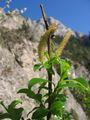 Salix glabra.jpg