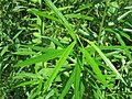 Salix schwerinii 46863414.jpg