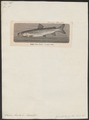 Salmo hucho - 1700-1880 - Print - Iconographia Zoologica - Special Collections University of Amsterdam - UBA01 IZ14800053.tif