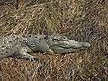 Saltwater Crocodile 04.jpg