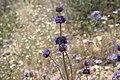 Salvia columbariae (joedecruyenaere) 001.jpg