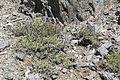Salvia dorrii var clokeyi 8.jpg