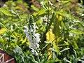 Salvia nemorosa Snow Hill 0zz.jpg