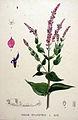 Salvia sylvestris — Flora Batava — Volume v20.jpg