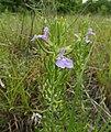 Salvia texana.jpg