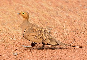 Sandgrouse - Male.jpg