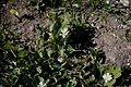 Sanguinaria canadensis Lumikki Blodört C IMG 7440.JPG