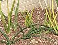 Sansevieria cylindrica 3zz.jpg