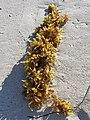 Sargassum - 2.jpg