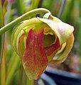 Sarracenia (leucophylla x (leucophylla x flava)) x open-pollinated (5814975489).jpg