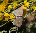 Satyrium spini (Blue-spot Hairstreak) - Flickr - S. Rae.jpg