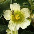 Scaevia sp. (selenitica^). Syrphidae. On Ecballium elaterium - Flickr - gailhampshire.jpg