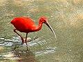 Scarlet Ibis (13398591033).jpg