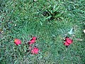 Scarlet waxcap - geograph.org.uk - 620739.jpg