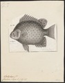 Scatophagus argus - 1700-1880 - Print - Iconographia Zoologica - Special Collections University of Amsterdam - UBA01 IZ13100263.tif