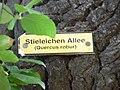 Schild an Stieleiche,Naturdenkmal,Uferstraße-Cottbus.JPG
