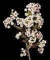 Scholtzia parviflora - Flickr - Kevin Thiele (1).jpg