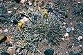 Sclerocactus whipplei fh 58 AZ B.jpg