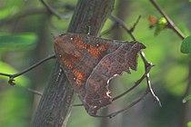 Scoliopteryx libatrix1.jpg
