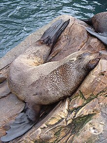 Seal at Living Coasts - geograph.org.uk - 200441.jpg