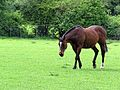 Seal brown horse in Hatfield Broad Oak Essex England 02.jpg