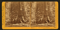Section of the Grizzly Giant, looking up, Mariposa Grove, Mariposa County, Cal, by Watkins, Carleton E., 1829-1916 2.png