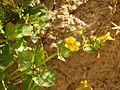 Seep Monkeyflower - Flickr - treegrow (4).jpg