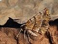 Selenia dentaria - Early thorn - Лунчатая пяденица зубчатая (27064558968).jpg