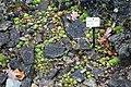 Sempervivum globiferum (Jovibarba globifera) - Botanischer Garten, Dresden, Germany - DSC08683.JPG