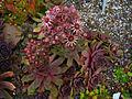 Sempervivum tectorum 'Metallicum giganteum' 001.JPG