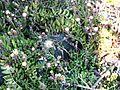 Senecio radicans in Cape Town garden - Katballetjies plant.jpg