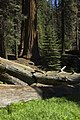 Sequoia 04.jpg