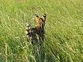 Serval (Leptailurus serval) farewell (14054731913).jpg
