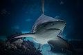 Shark (39870740164).jpg