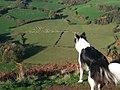 Sheep From Dinas Bran - geograph.org.uk - 920212.jpg