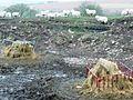 Sheep feeding in the quarry - geograph.org.uk - 693262.jpg