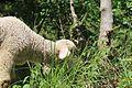Sheep in Kashmir.jpg