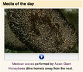 Shimmering bees - Media of the Day - Commons.png