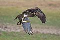 Short Toed Snake Eagle Ashish.jpg