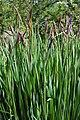 Siberian Iris Iris siberica Plants.jpg