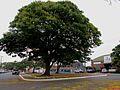 Sibipiruna (Caesalpinia peltophoroides) na praça em frente a Igreja de Nossa Senhora Aparecida em Pitangueiras. Ao fundo a tradicional loja de materiais Tué Constroi e um Jacarandá Mimoso florido (Jacaran - panoramio.jpg