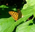 Silver-Washed Fritillary. Argynnis paphia. Female - Flickr - gailhampshire.jpg