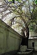 Skovorody tree 1.JPG