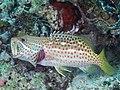 Slender grouper (Anyperodon leucogrammicus) (46722839191).jpg