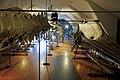 Slottsfjellsmuseet Museum Hvalhallen (Whale Hall) Tønsberg, Norway. Hvalskjeletter (Old skeletons) Blåhval (Blue whale 27m 1900 middle) Spermasetthval (Sperm whale 1896 right) etc 2020-01-21 2348.jpg