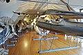 Slottsfjellsmuseet Museum Hvalhallen (Whale Hall) Tønsberg, Norway. Hvalskjeletter (Old skeletons) Nebbhval (Bottlenose whale left) Spermhval (Sperm whale 1896 behind) Blåhval (Blue whale 27m 1900 right) etc 22020-01-21 2314.jpg