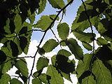 Slunce v listí stromu.jpg