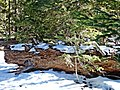 Snow on Log, San Jacinto Forest, CA 2-7-14 (16467978216).jpg